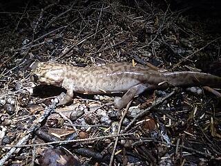 Pacific Giant Salamander (a foot long)