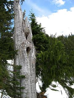 Survivor Tree along the way – the cedar limb at right is growing from the silvered trunk