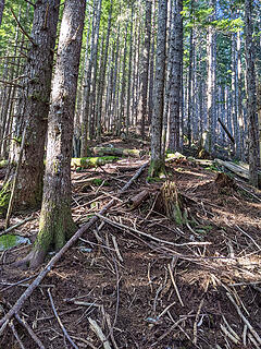 Continuing open second growth forest at 2300'