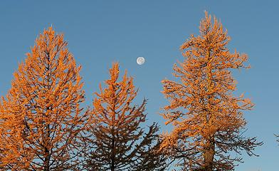 Moon behind the first light on the trees