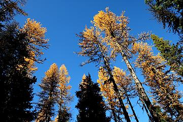 more hiking beneath tall larches