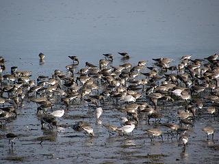 shore-birds1