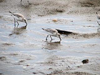 shore-birds2