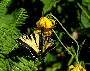 Tiger Swallowtail on Tiger Lily