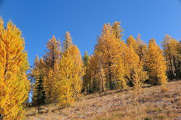 larches along the trail