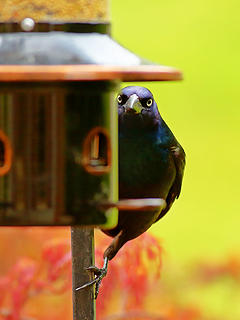 16- Common Grackle (The Shadow King)