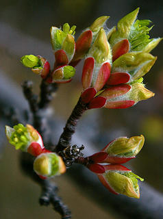 Swakane Cyn serviceberry buds maybe