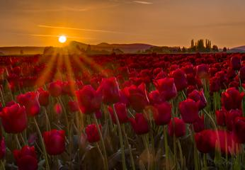 Skagit Valley tulip sunset..