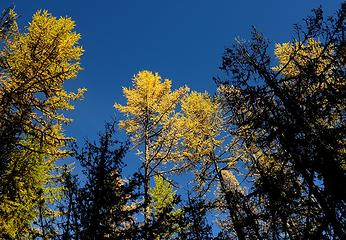 Larch canopy