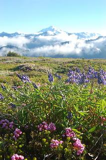 Flowers and Glacier Peak