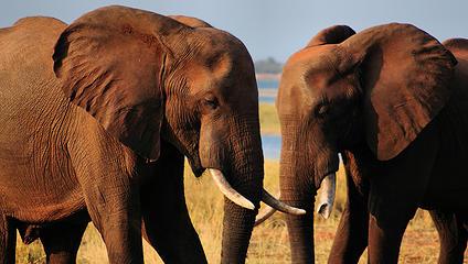 Elephant, Matusadona National Park, Zimbabwe