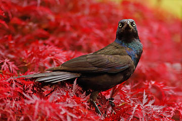 Common Grackle, with another stare