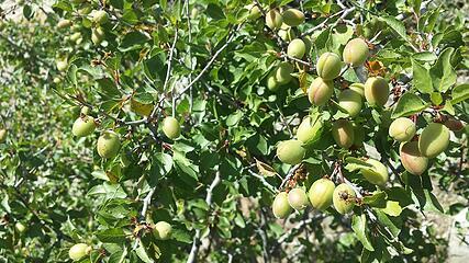 Desert Apricot