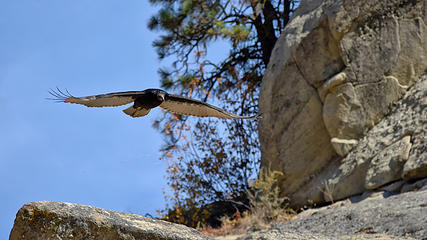 September - Vulture at Peshastin Pinnacles State Park