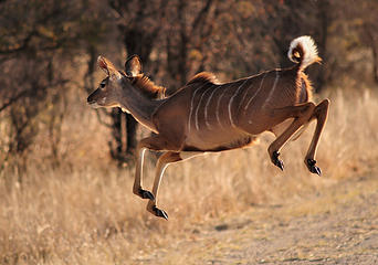 Female kudu, Hwange National Park, Zimbabwe. Nikon D300, Nikkor 300mm f4.5 ED-IF