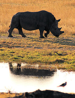 White rhino, Hwange National Park, Zimbabwe