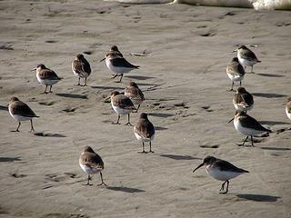 shore-birds4