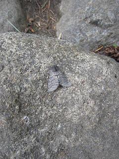 Camoflaged Moth