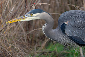 November - Heron at Nisqually National Wildlife Refuge