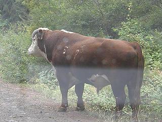 Free range cattle on road leaving Miller Peak trail.