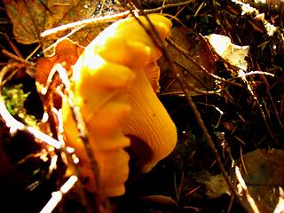 Chanterelle in the woods