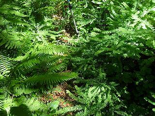 lots of ferns