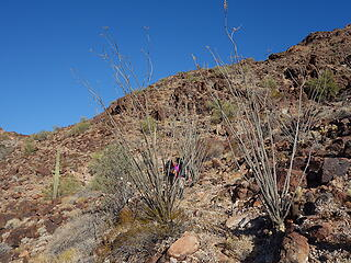 old trail and droughty ocotillo