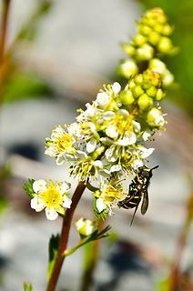 A Hover Fly ([i:d324bf3e16]Chrysotoxum Intermedium[/i:d324bf3e16]).