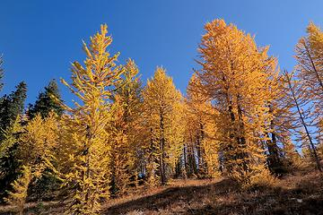 more Crow Hill larches