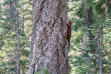 blurry pine marten