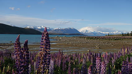 Lupines indicate springtime in New Zealand!