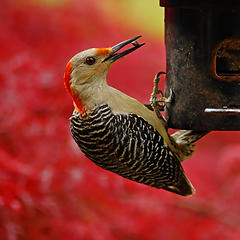 Red-bellied Woodpecker, with a pair of chopsticks