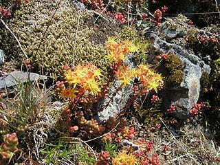 Oregon Stonecrop