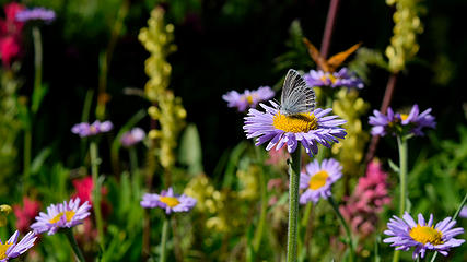 August - Butterfly and Asters in Mt Rainier National Park