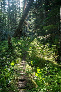 Average condition of unmaintained upper Suiattle trail between Vista and Dusty Creeks.  Surprising shape considering it has not been maintained for at least 15 years....if not more.
