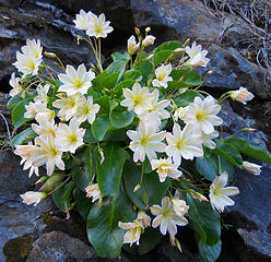 Tweedys Lewisia, Chiwaukum Creek 5/11/18