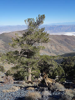 Stately Limber Pine; Telescope Pk Death Valley NP, CA