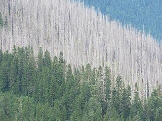 Burned trees on Shoofly