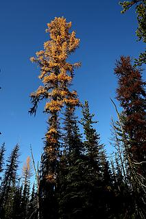 Tall larch
