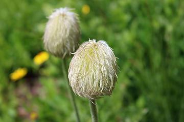 Anemone occidentalis aka Western Pasque Flower