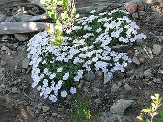 Phlox on Crystal Peak trail.