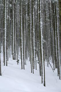 Snow-striped trees