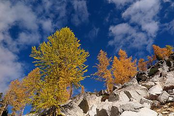 more larches against the sky