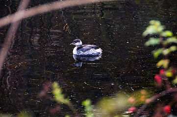 ?? (update: Horned grebe)
