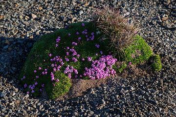 Alpine bonsai