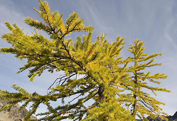 Electric Larches