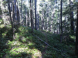 typical salal forest.  Some of the steepest trail sections were here.