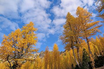 big larches and sky
