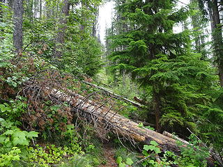 A bad section with about 20 trees down.