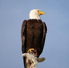 Eagle on Eagle (cropped)